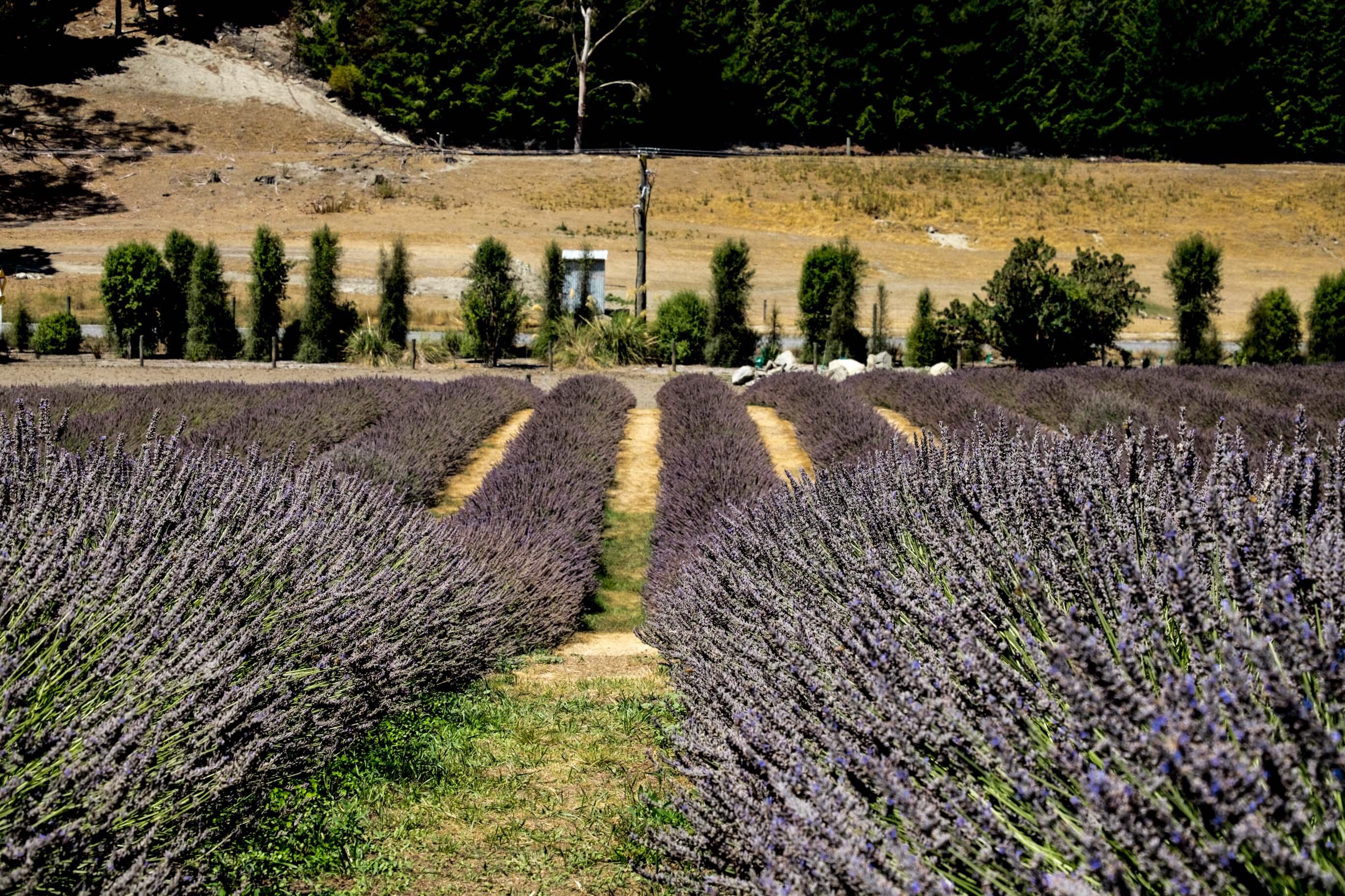 lavendel farm_3-1